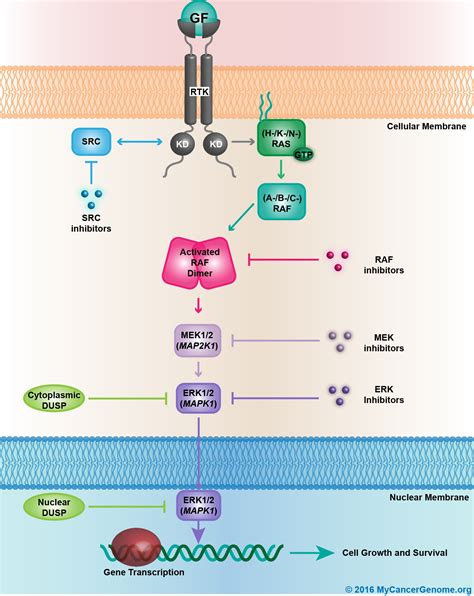 Map Kinase Activation